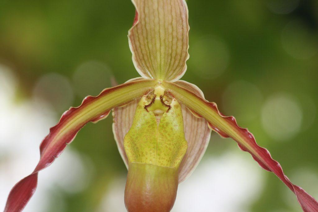 phragmipedium-umbriel-redwing-sargentianum-x-grande-2
