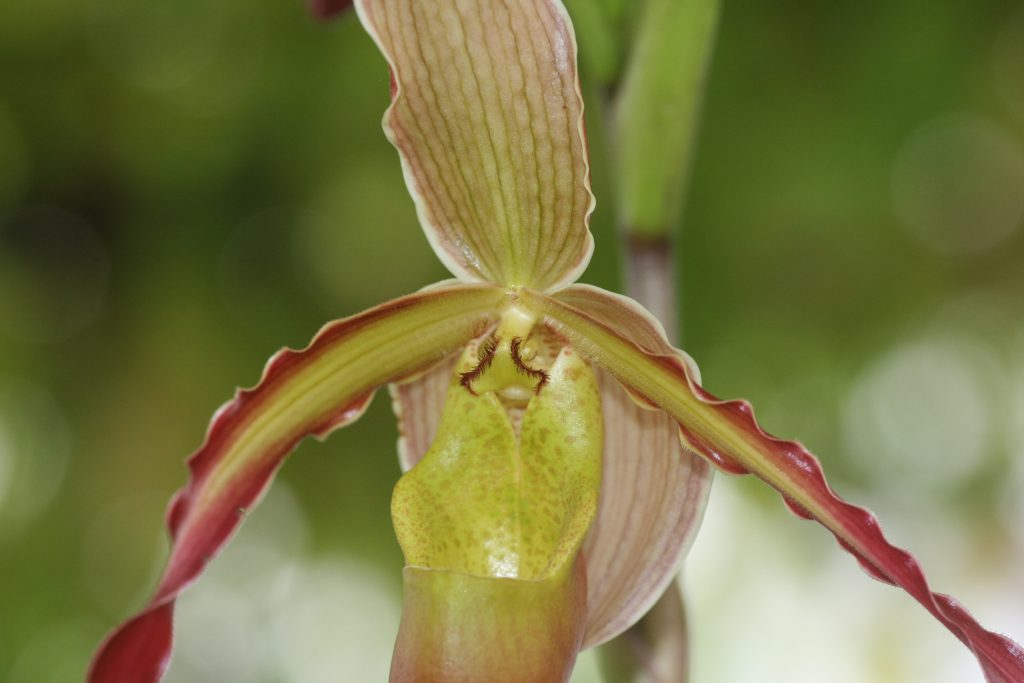 phragmipedium-umbriel-redwing-sargentianum-x-grande-3