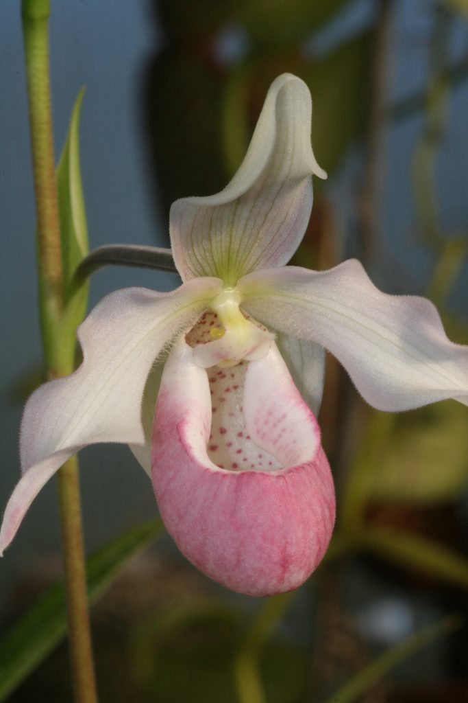phragmipedium-sendenii-pink-blush-1