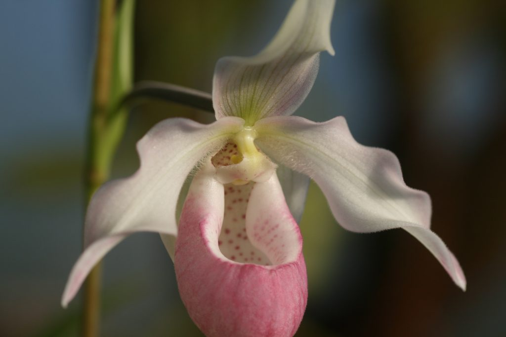 phragmipedium-sendenii-pink-blush-2