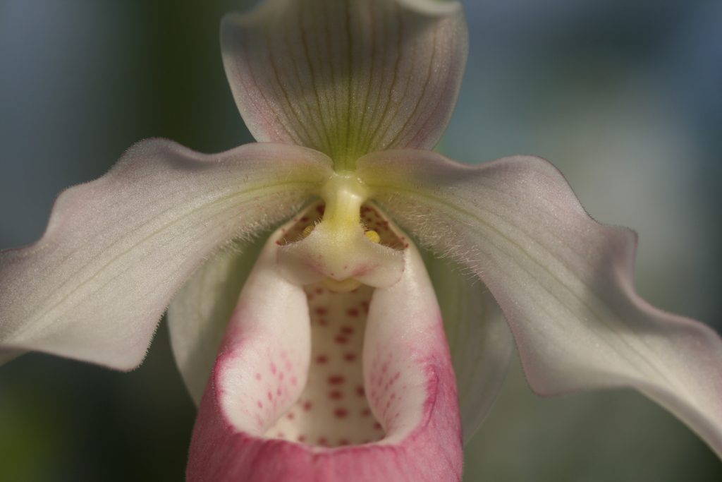 phragmipedium-sendenii-pink-blush-3
