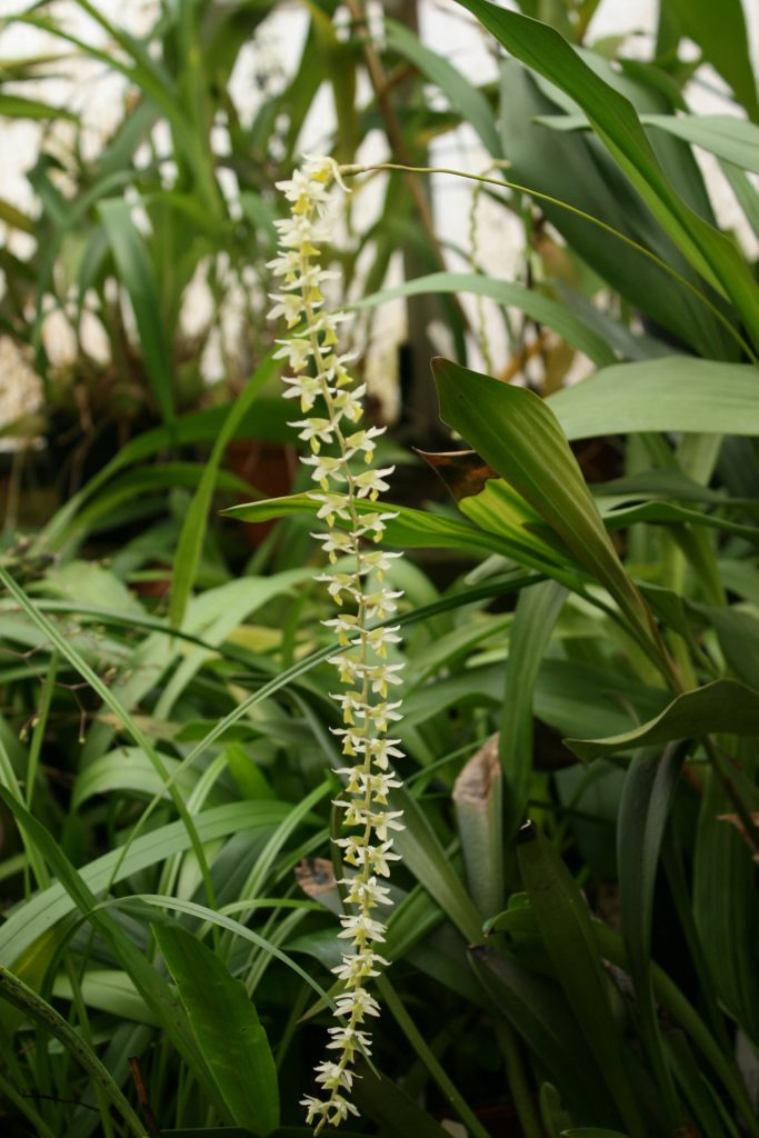 Dendrochilum Cobbianum 1