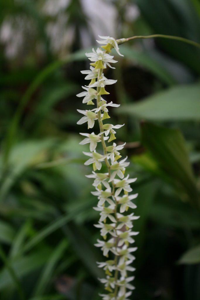Dendrochilum Cobbianum 2