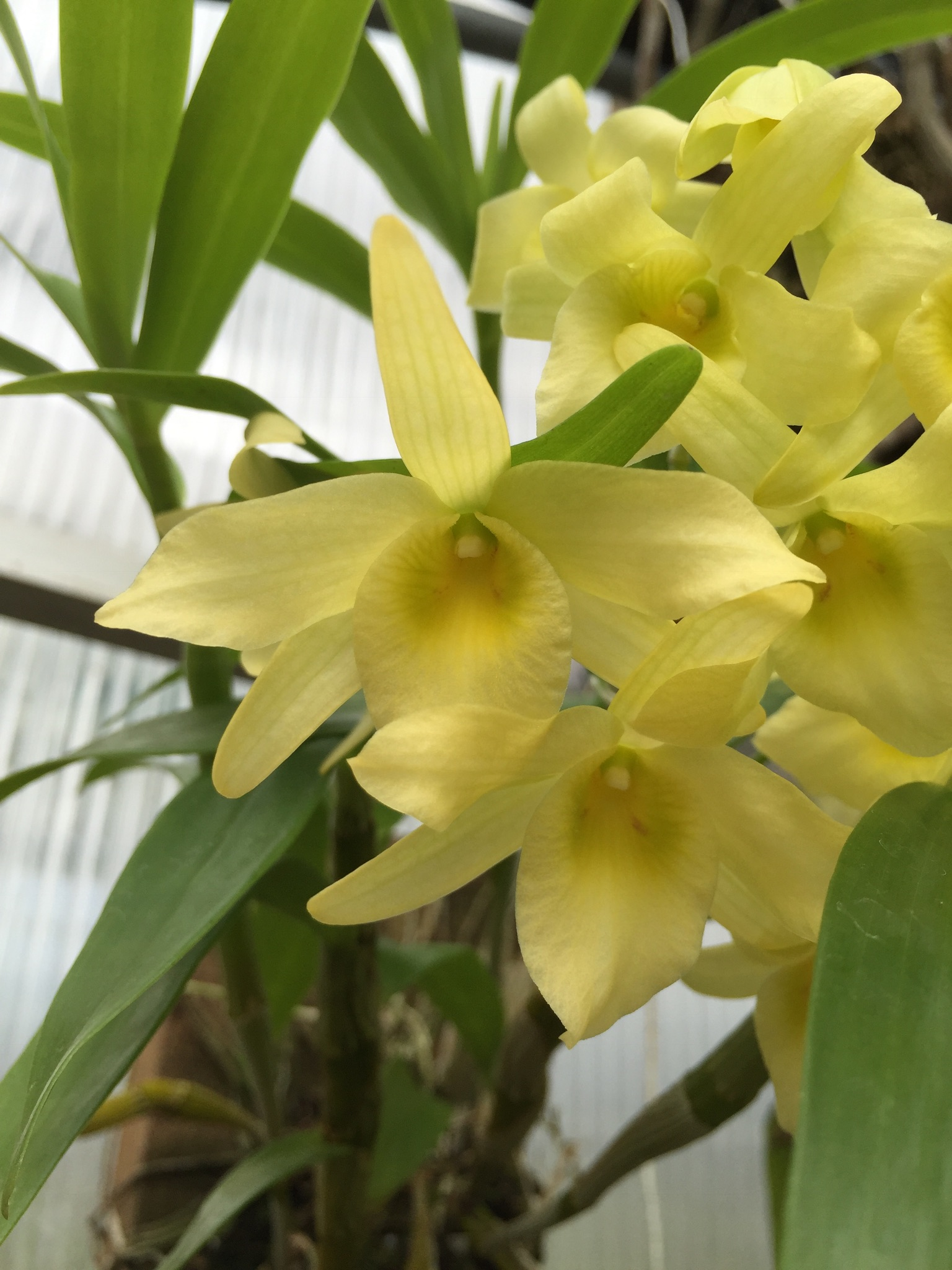 Dendrobium Yellow Song Canary Elite Orchids