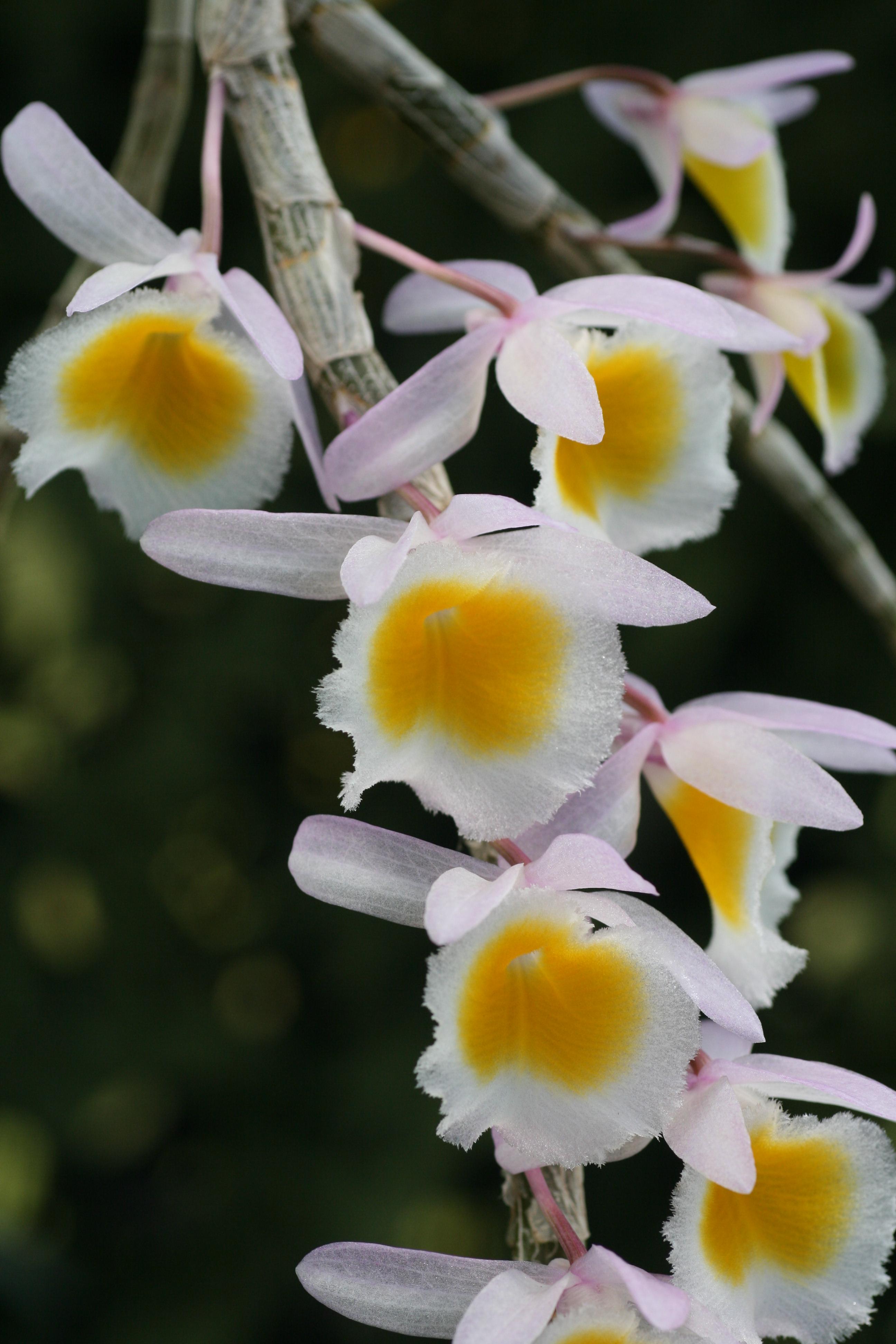 Dendrobium Primulinum Elite Orchids