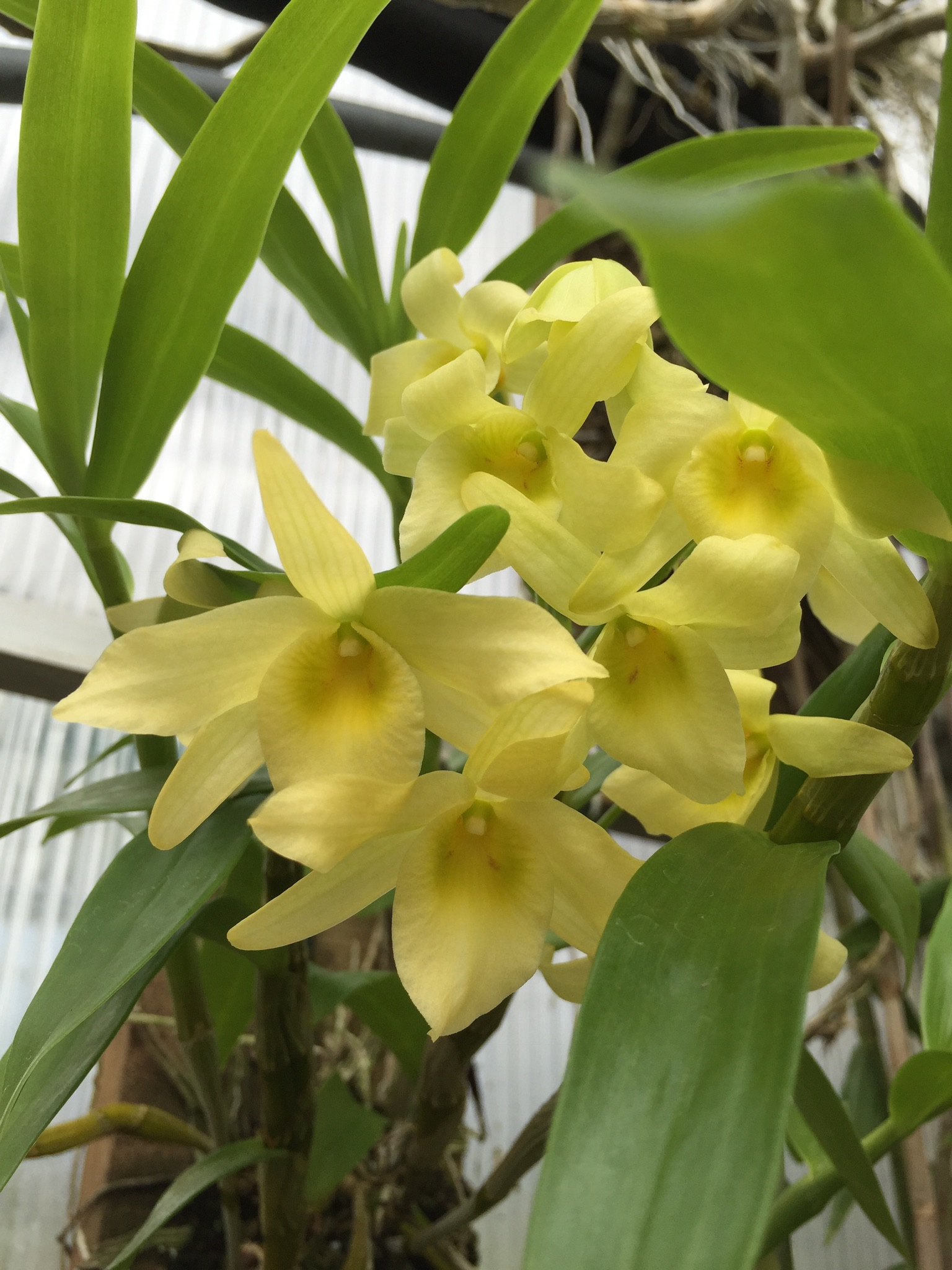Dendrobium yellow song canary elite orchids adminmark mightylinksfo