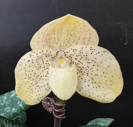 Paph. concolor 'Full moon'