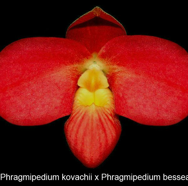 Phragmipedium (kovachii x besseae), 2