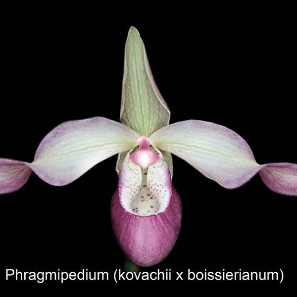 Phragmipedium (kovachii x boissierianum), 1