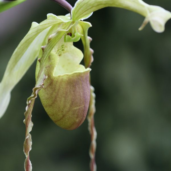 Phragmipedium hirtzii 2