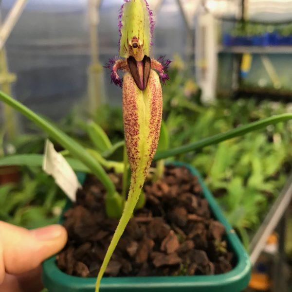 Bulbophyllum fascinator fma semi-album (1)